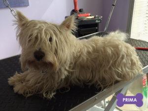 Peluqueria-Canina_stripping-westy-prima